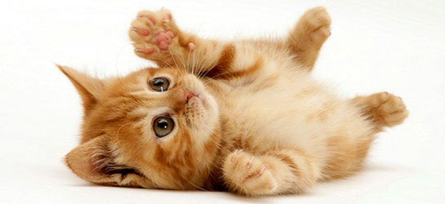 Kedinin Dışkısında Kan gelmesi Nedeni, ait tanıtım resmi