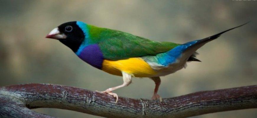 Papağan nasıl bir kuş türüdür? ait tanıtım resmi