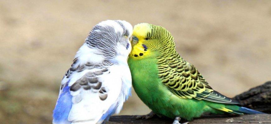 Muhabbet Kuşları Hakkında Genel Bilgi ait tanıtım resmi