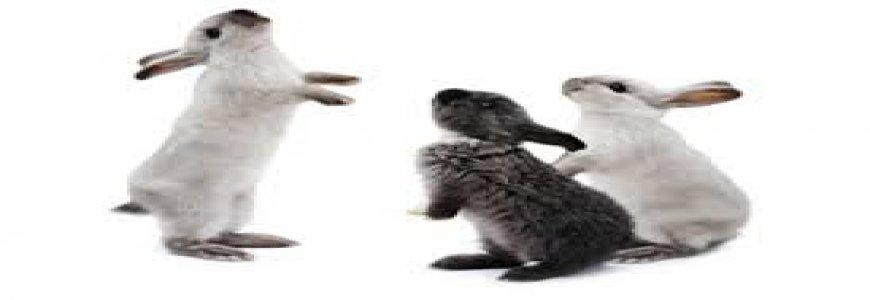 Tavşan hastalıkları Hakkında Genel Bilgi ait tanıtım resmi