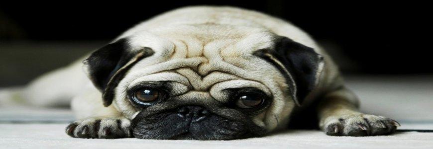 Erkek ve Dişi Köpeklerde kısırlaştırma ait tanıtım resmi