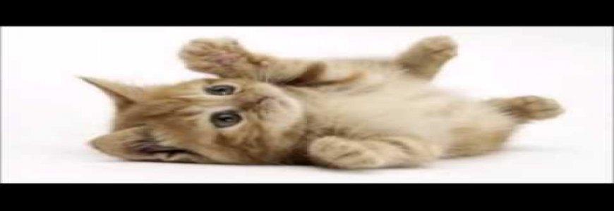 Bağcılar Ücretsiz Yavru Kedi Sahiplendirme ait tanıtım resmi