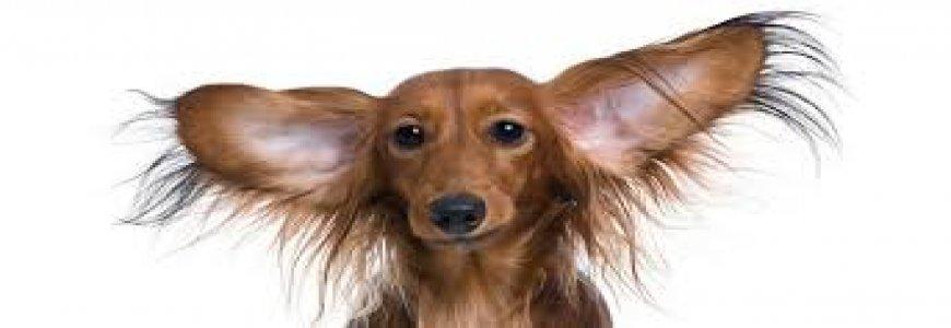 Kedi ve Köpeklerde  Kulak iltihabı belirtisi tedavisi nedir (Otitis media ) ait tanıtım resmi