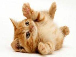 Kedilerde Kızgınlık belirtisi Videosu Kapak Resmi